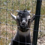 Ruminatin':  On the Weaning of Goats