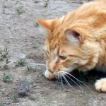 """Ruminatin' – On Farm Cats and Their """"Gifts"""""""