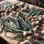 From the Garden: Onions