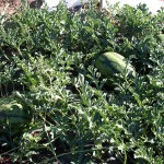 From the Garden: Watermelon, Part II and Cantaloupe