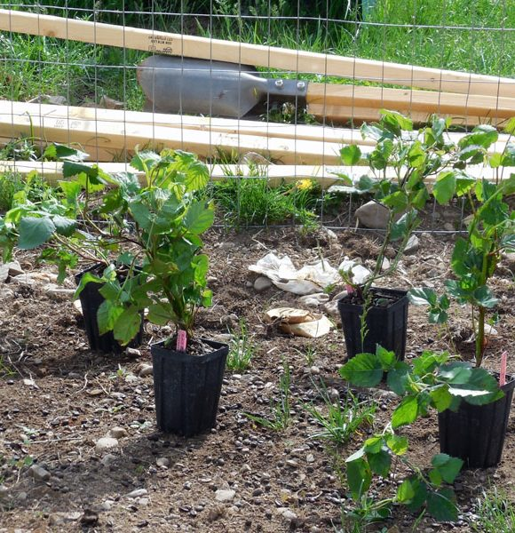 Planting a Berry Garden on the Farm