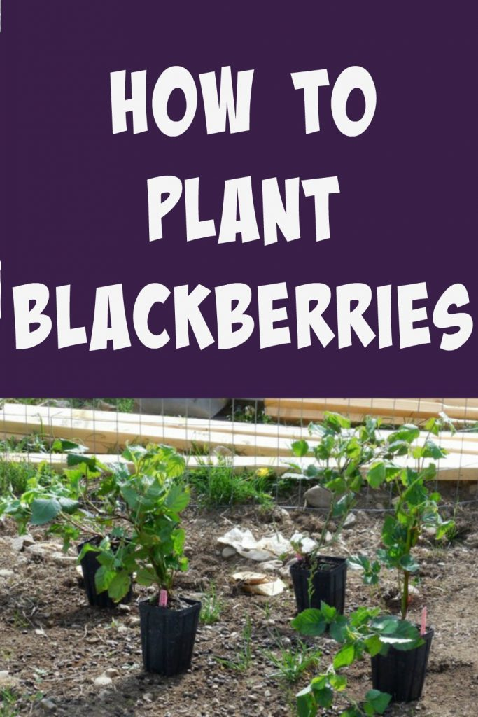 how to plant blackberries