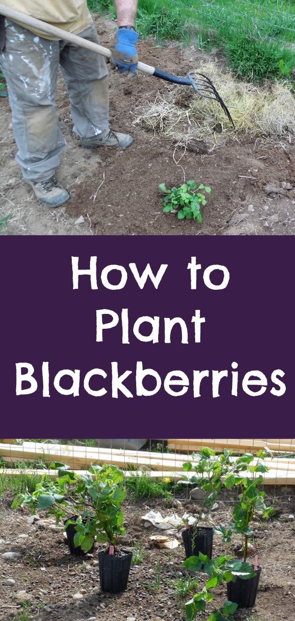 how to plant blackberries, growing blackberries, blackberry garden, planting a berry garden, Home Depot, AD