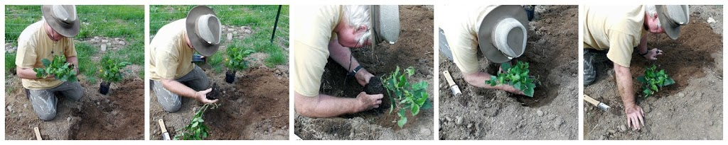 how to plant blackberries, growing blackberries, blackberry garden, Home Depot, AD