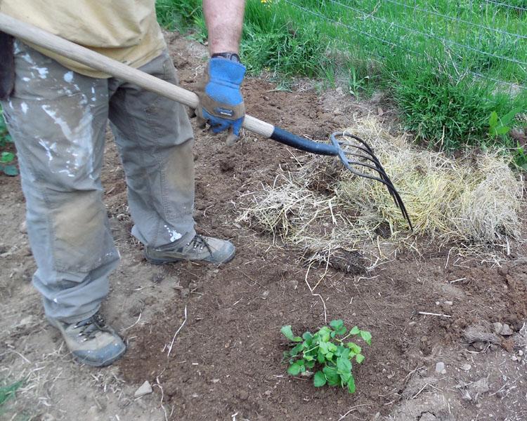 how to plant blackberries, growing blackberries, blackberry garden, Home Depot, AD