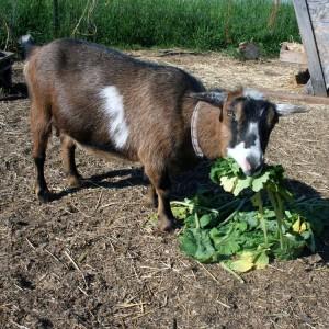 photo goats20112040.jpg