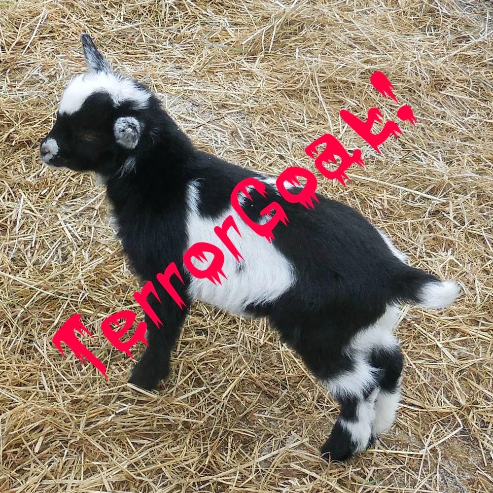 TerrorGoat, Alex the goat, #CoffeeJourneys, #cbias