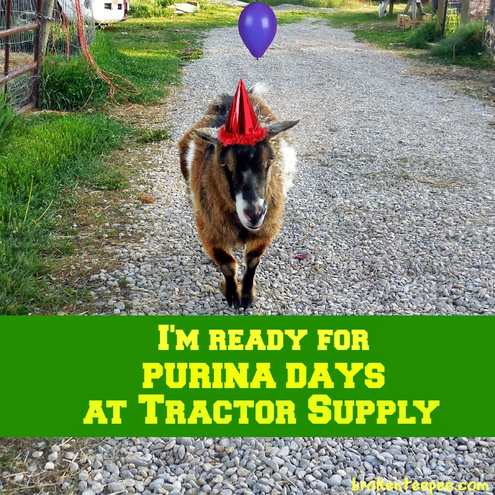 Famous SpokesGoat Pricilla in party hat, #PurinaDays, Tractor Supply, #spon