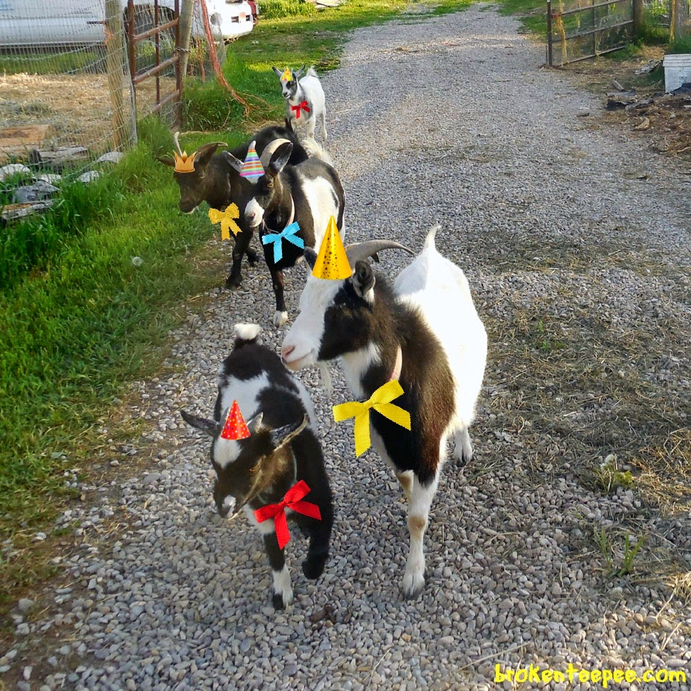 Party Goats, Tractor Supply, #PurinaDays, #spon