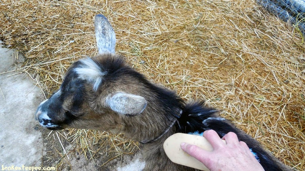 grooming goat, #PurinaDays, Tractor Supply, #spon
