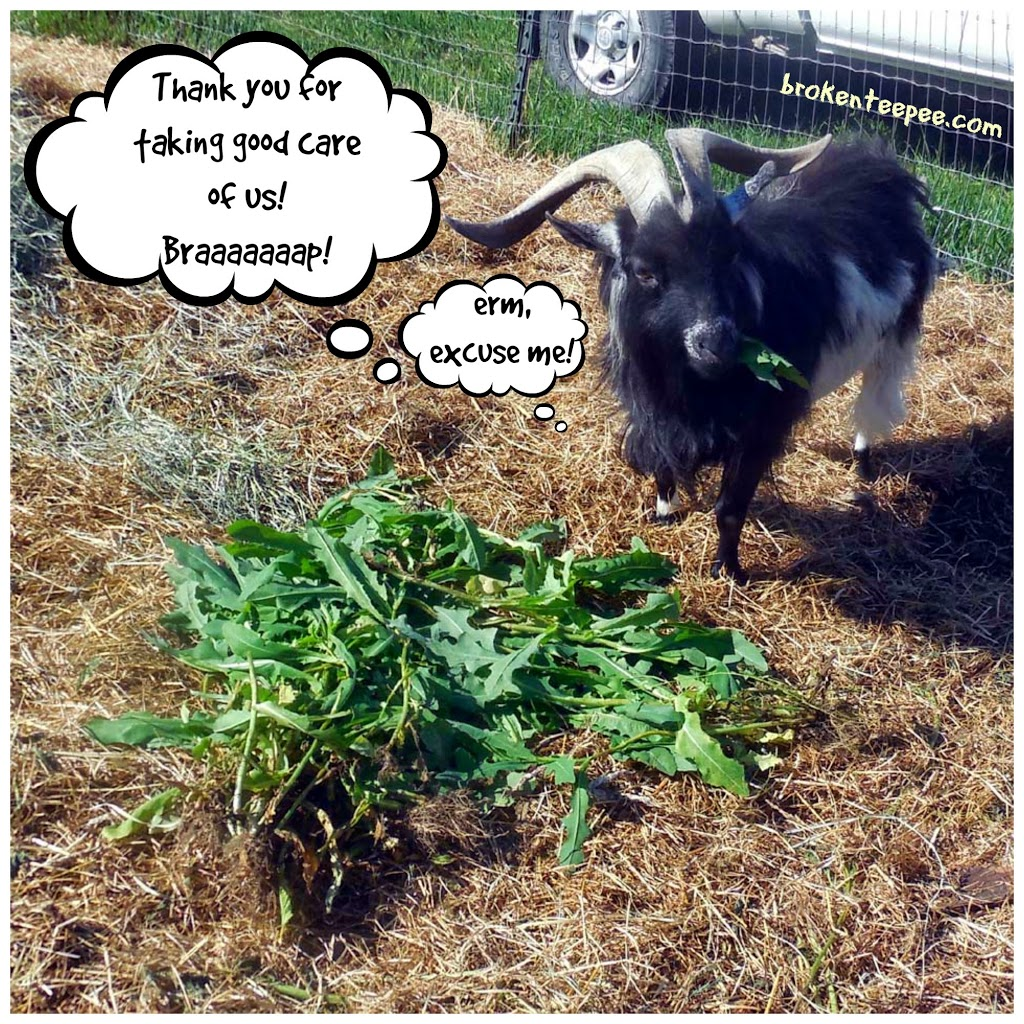 Luke the goat, Walgreens, #HerHealth, #shop, #CollectiveBias