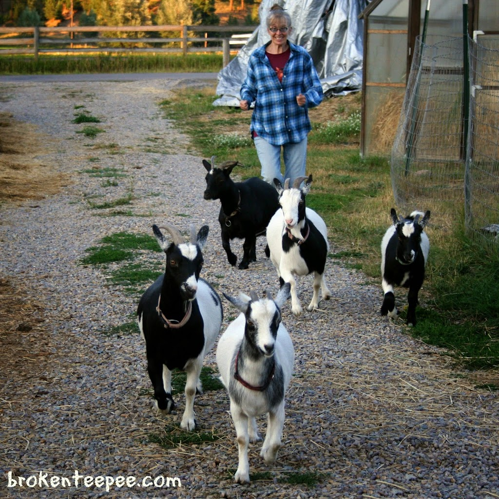 goatherd chasing goats, #BalanceRewards, #shop, #cbias