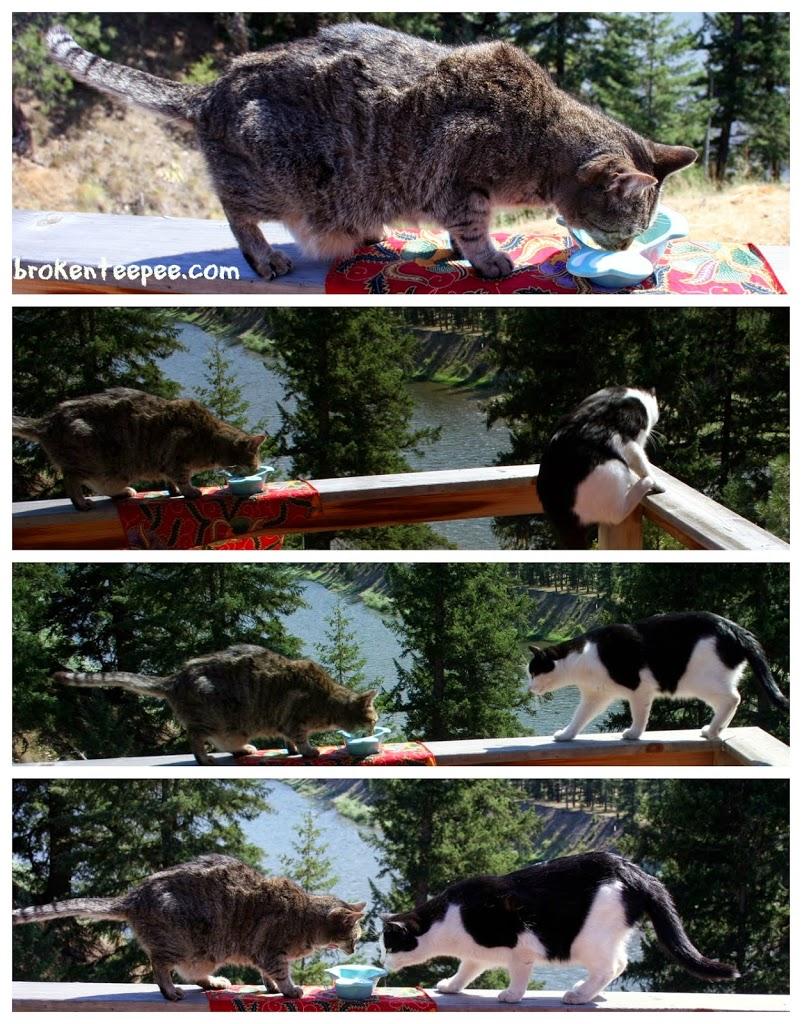 Stinky the Farm cat loses her Nutrish to Harry, #NutrishforCats, #MC, #Sponsored