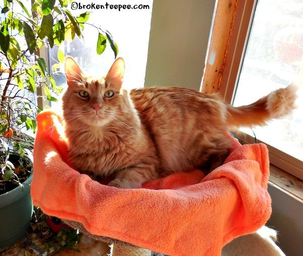Sherpa the Farm cat