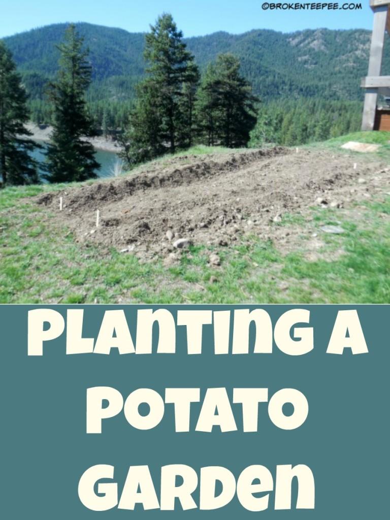 Planting a potato garden, part II
