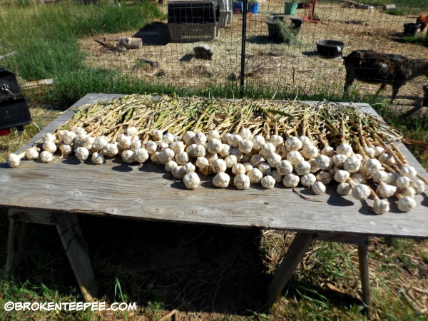 garlic harvested from the garden