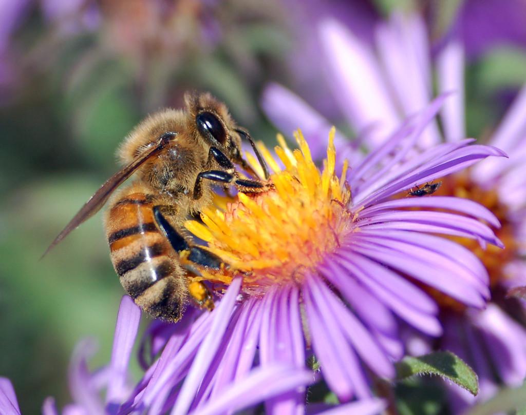 honey bee on flower, Mamavation, #BeeBold, #sponsored