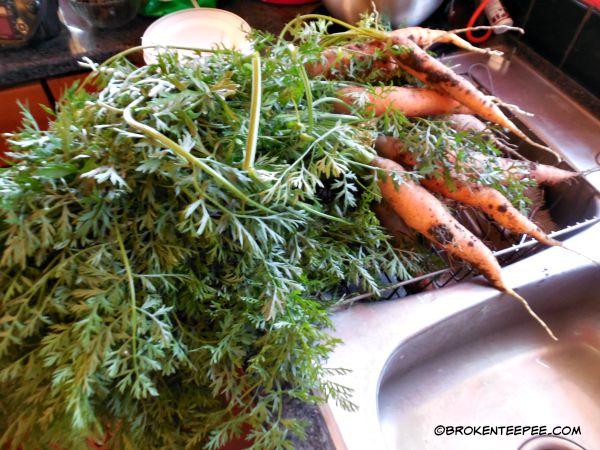 carrots, the garden