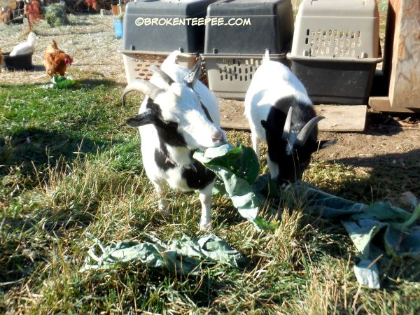 Happy goats eating cauliflower leaves