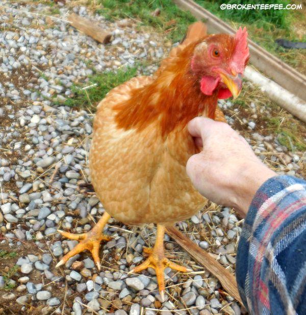 chicken, Red Ranger hen, Scarlet O'Henna