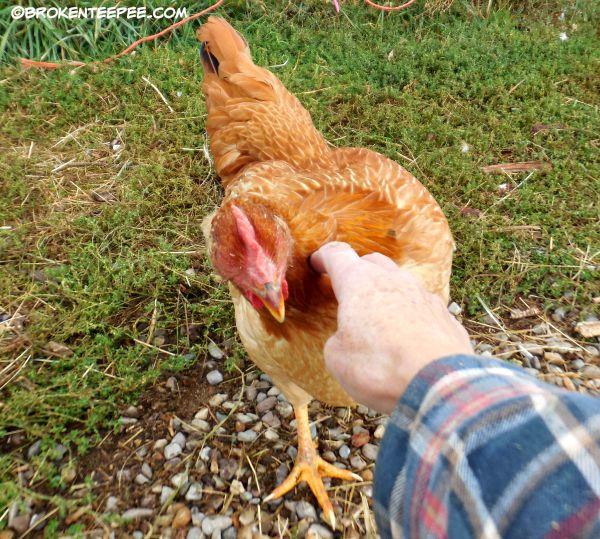 chicken, Red Ranger, Scarlet O'Henna
