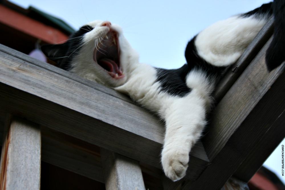 Harry the Farm cat - 1