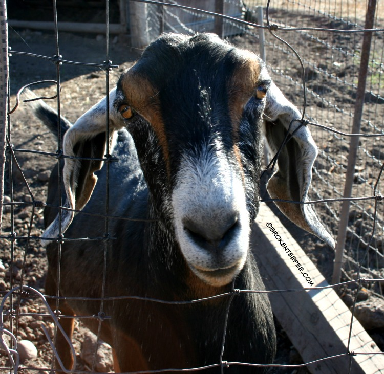 goat at Moon Randolph Homestead