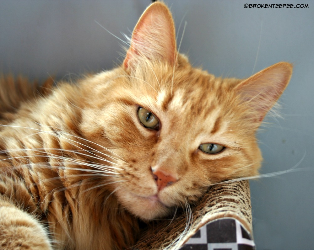 Sherpa the Farm cat 7