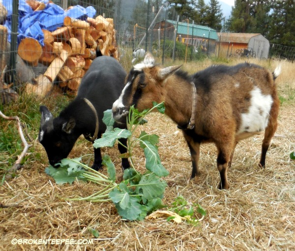 Pricilla and Debbie the goats eating broccoli plants