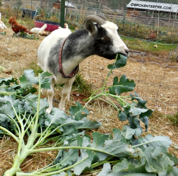Bernadette the goat enjoys her broccoli