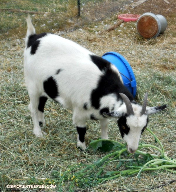 Nora the goat and broccoli