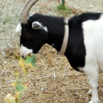 Louise the goat eating broccoli plants
