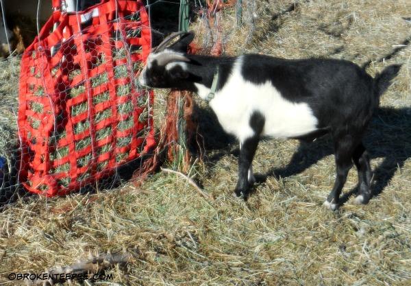 slow feed hay feeder, Harley the goat