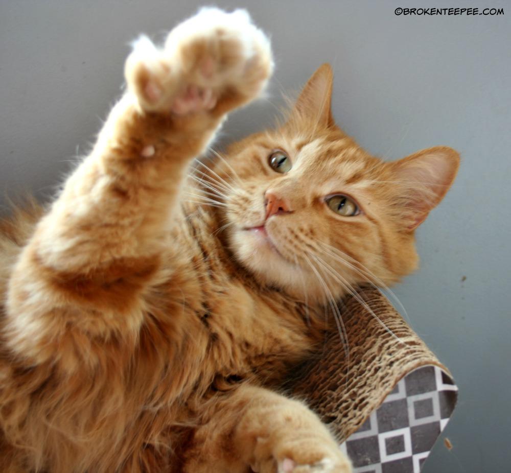Sherpa the Farm cat 5