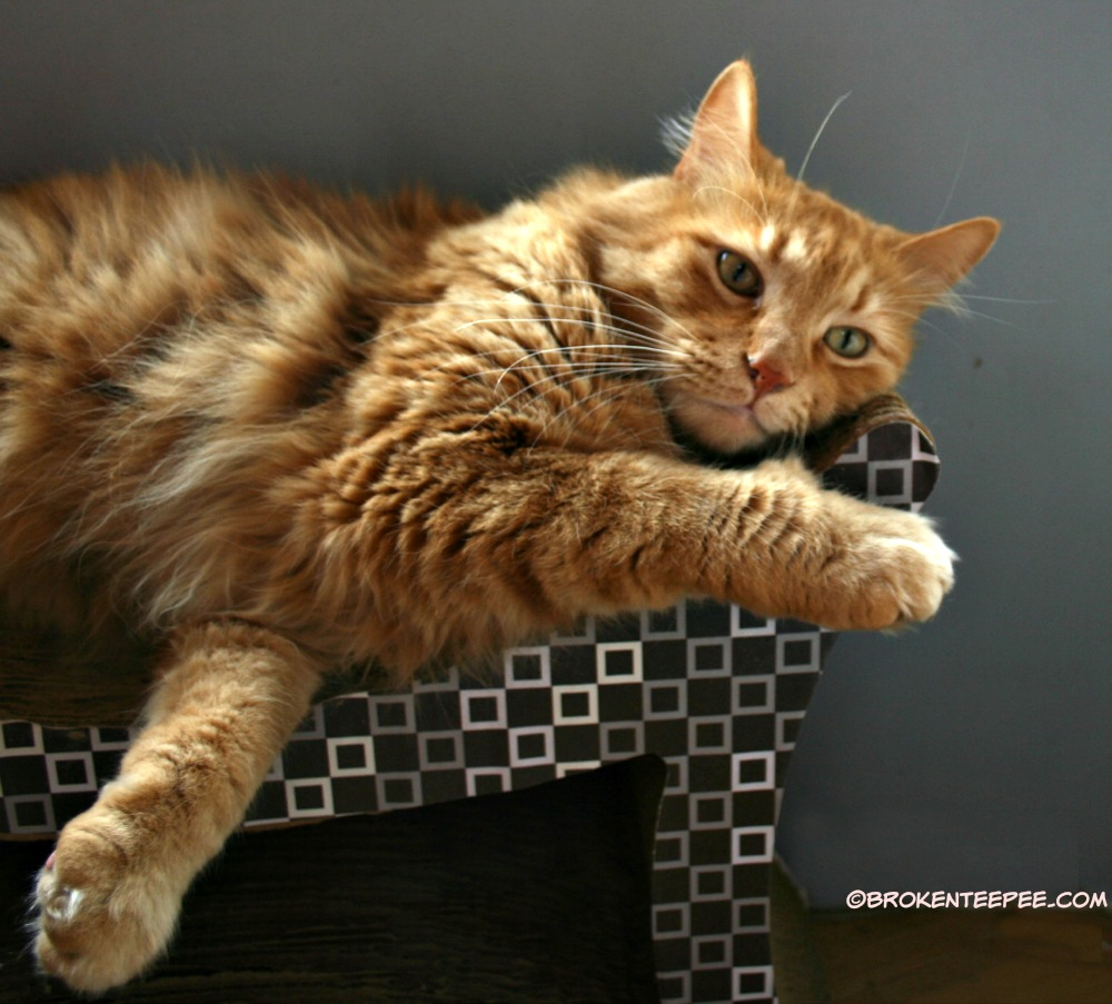 Sherpa the Farm cat 2