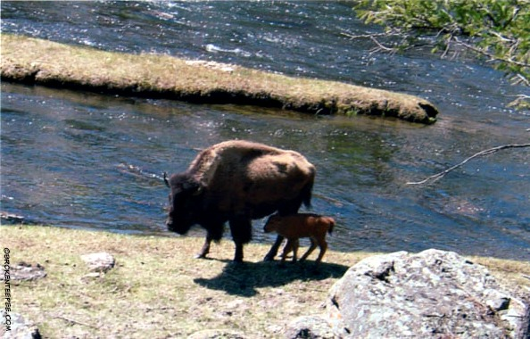 Cow and calf bison, Yellowstone National Park