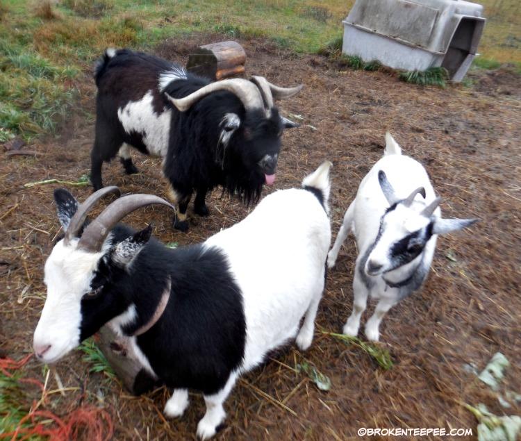 Luke the goat, Thelma the goat, Bernadette the goat