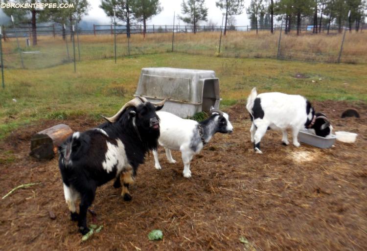 Luke the goat, Bernadette the goat, Thelma the goat