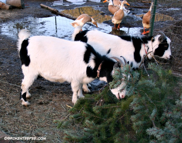 goats eating tree