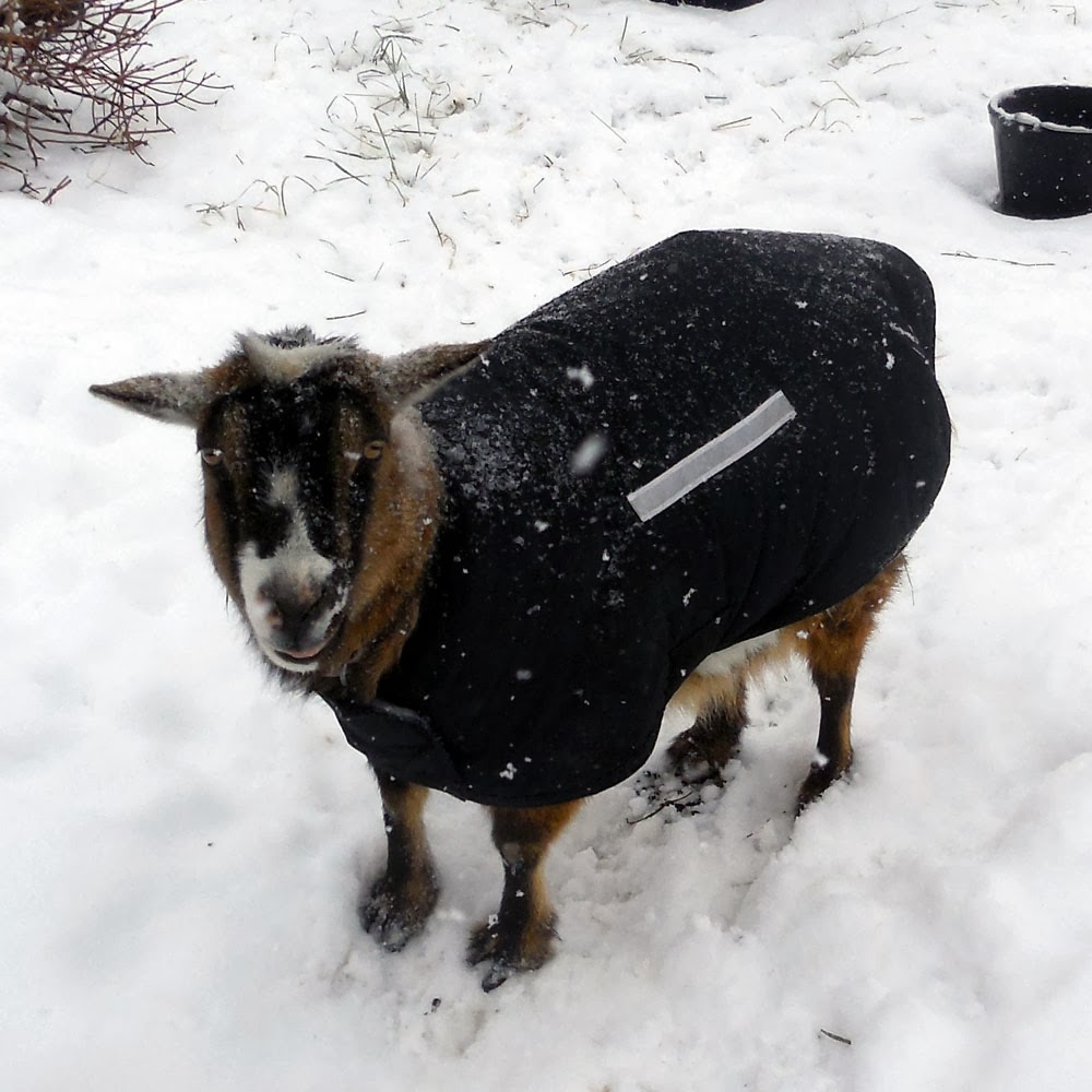 Pricilla, goat coat, goature