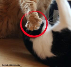 cat fight, cat paw. Harry the Farm cat, Sherpa the Farm cat