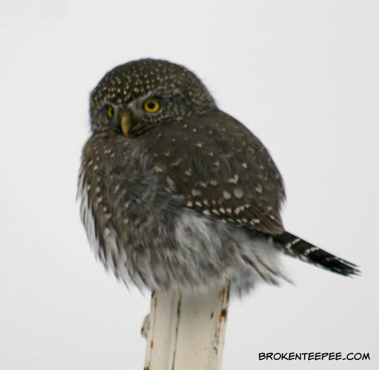 a visitor to the farm, Northern pygmy owl