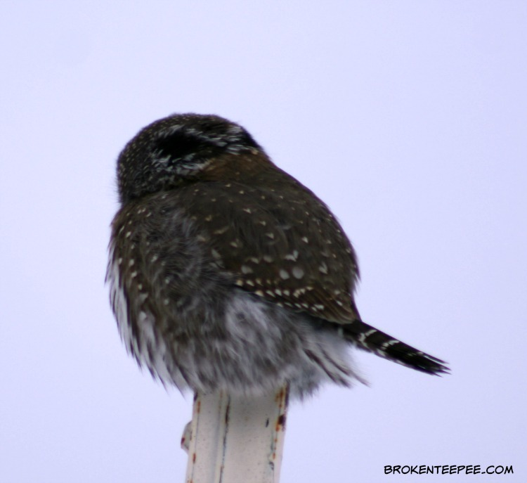 a visitor to the farm, Northern pygmy owl, back of head markings