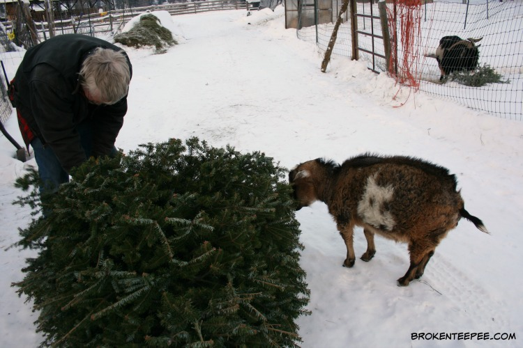 recycle a Christmas tree, goat tree-t, Famous SpokesGoat Pricilla