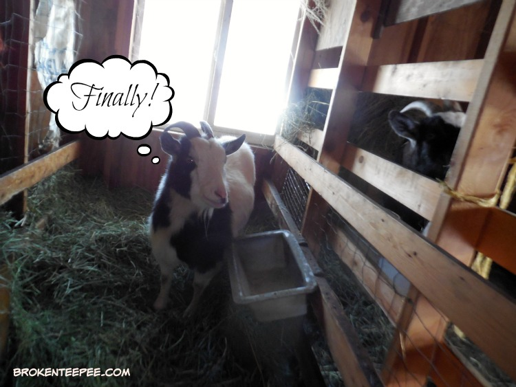 Thelma the goat, Louise the goat