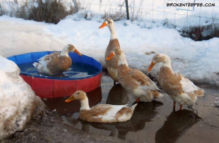 the Happy ducks