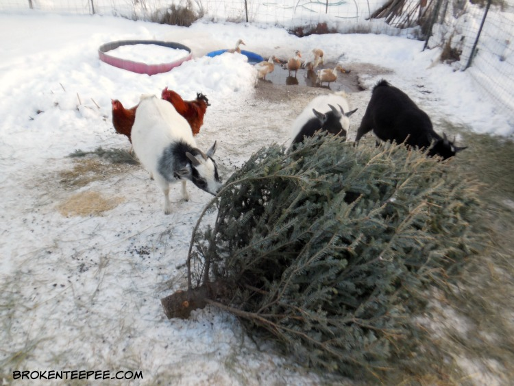 recycle a Christmas tree, goat tree-t, Bernadette the goat, Debbie the goat, Jenn the goat
