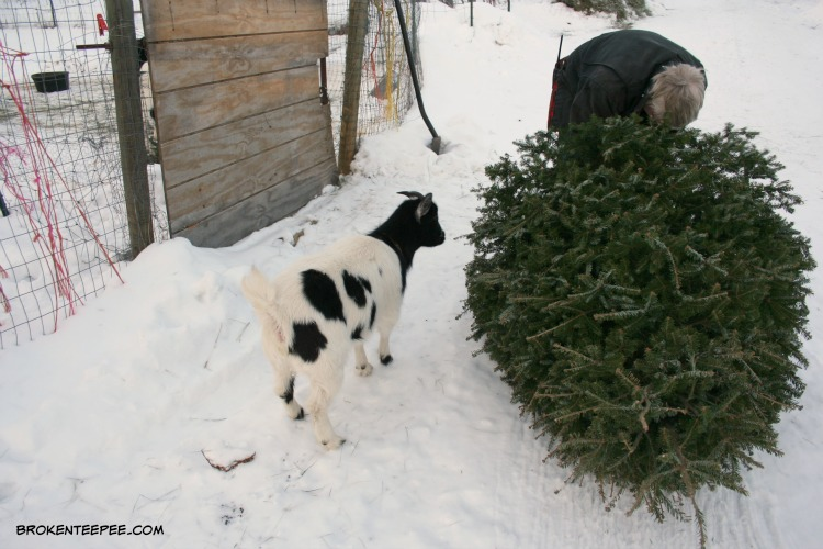 recycle a Christmas tree, goat tree-t, Jenn the goat