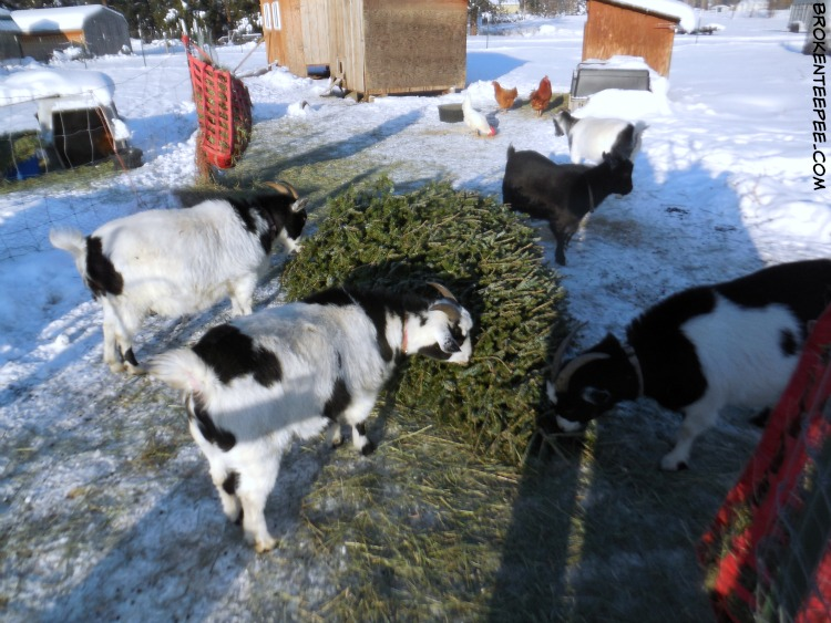 recycle a Christmas tree, goat tree-t, Louise the goat, Nora the goat, Thelma the goat