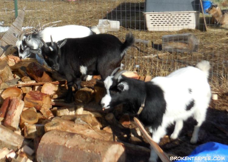 tree nibbling, bark eating, The Happy Goats, Jenn the goat, Debbie the goat, Bernadette the goat